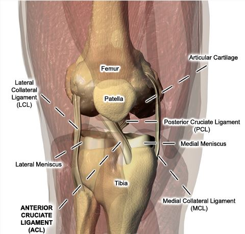 This is your knee, and all the key parts that keep it humming. We're thinking my medial meniscus needs a rest. (Image courtesy of http://drwaltlowe.com/knee-anatomy/)